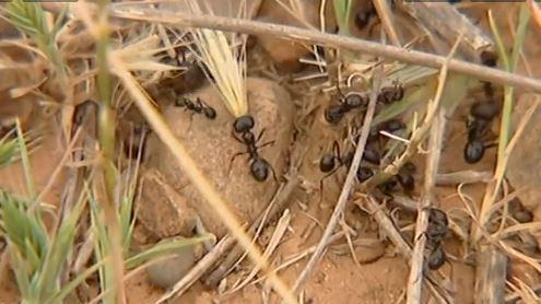Ces fourmis moissonneuses qui aident lutter contre la pollution d 39 hydrocarbure - Lutter contre les fourmis ...