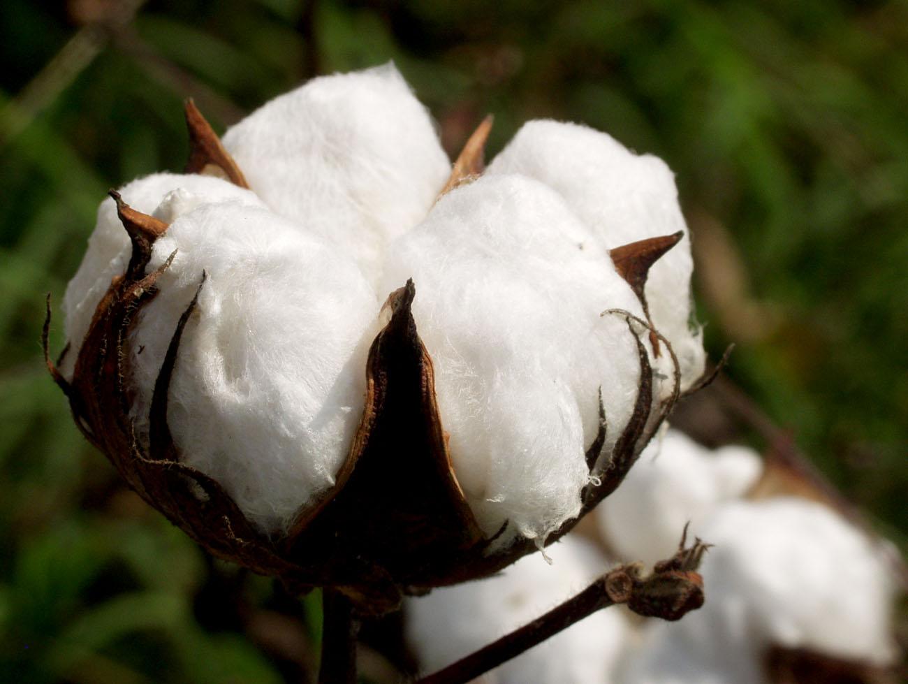 Top La production du coton connait une hausse de 5,7% ( bilan du  DU68